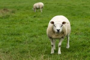 Sheep_LR